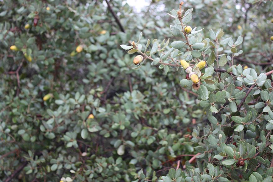 Quercus ilex chênes dehesa glands sierra Aracena Jabugo