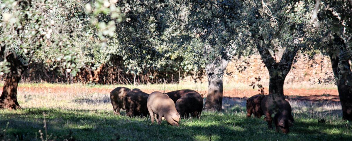 Cerdos ibéricos criados en libertad