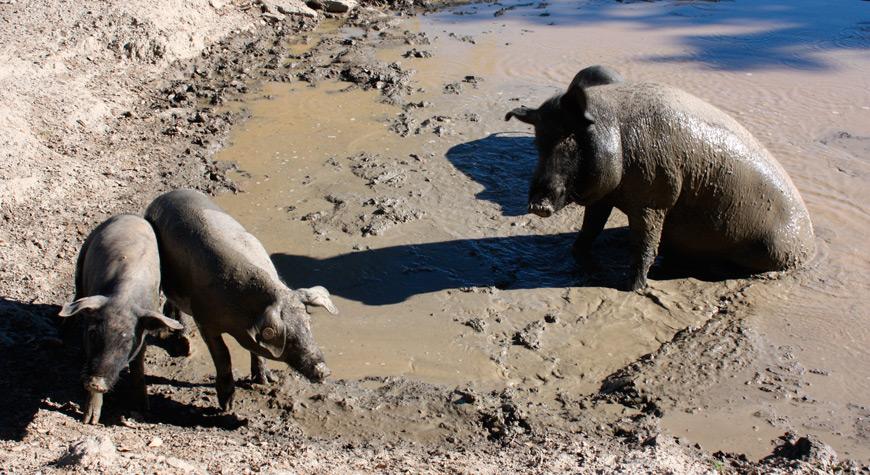 Cerdos ibéricos dehesa