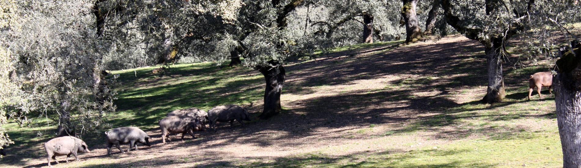 Iberian pigs, raised in freedom in the Dehesa