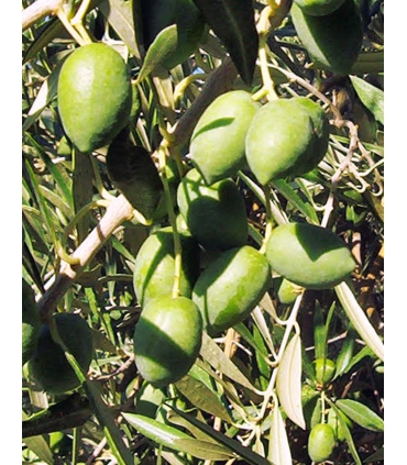 Green olives of the picual variety