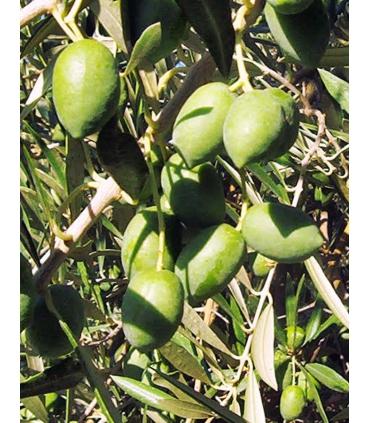 Aceitunas verdes de la variedad picual