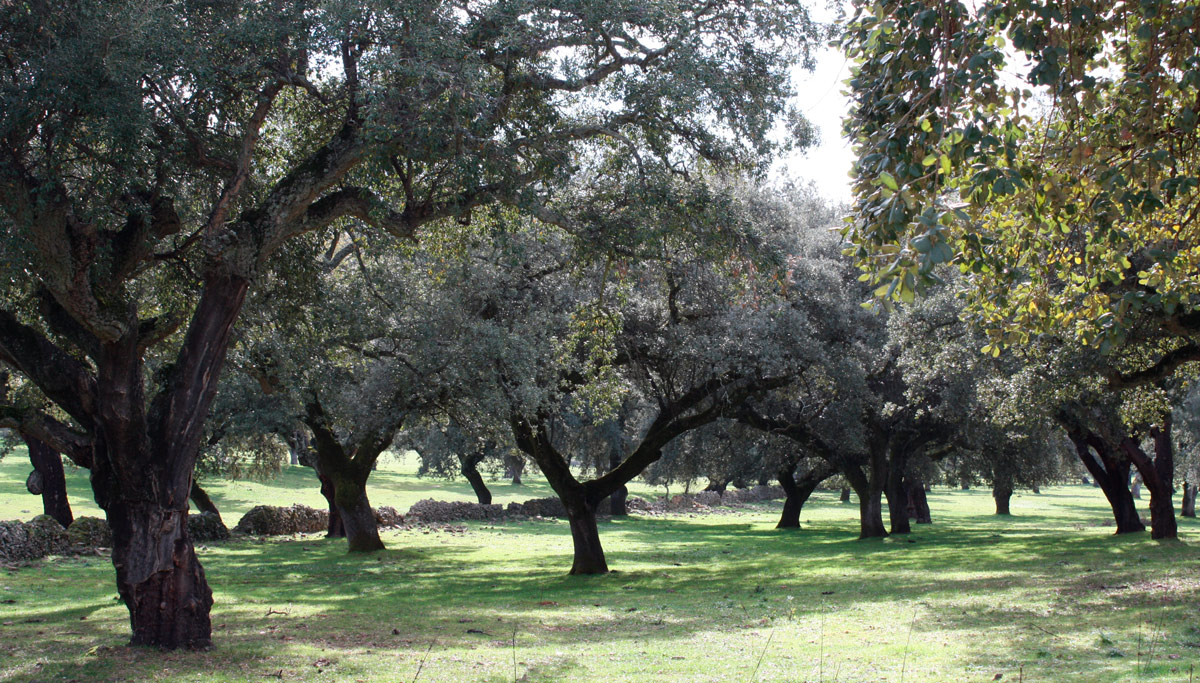 Dehesa cork oak