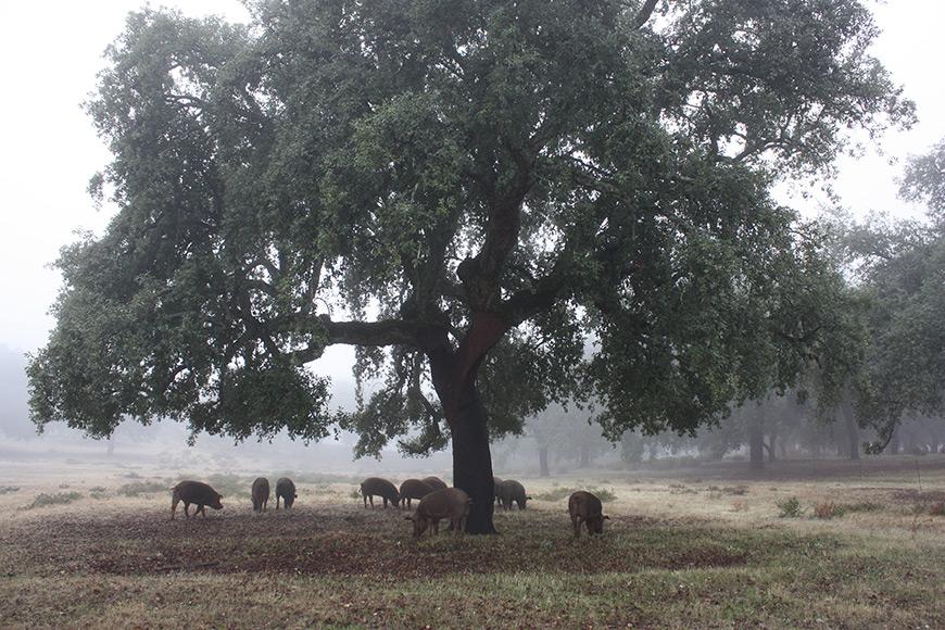 cerdos ibéricos negros dehesa Aracena otoño