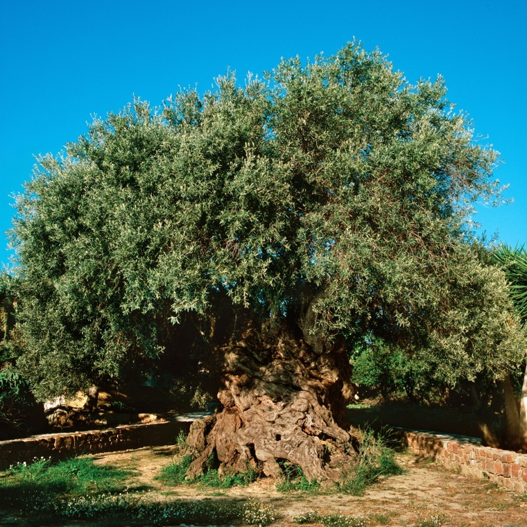 olive tree in Vouves Greece