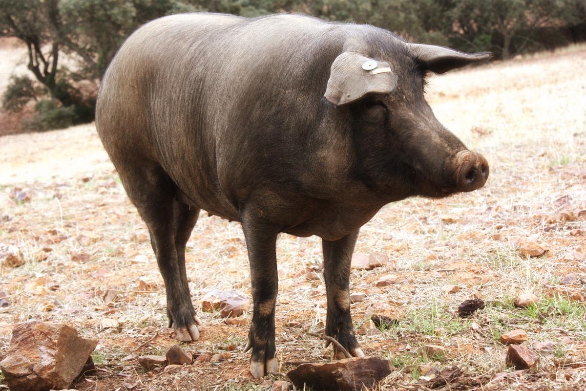 Cerdo ibérico puro Finojosa