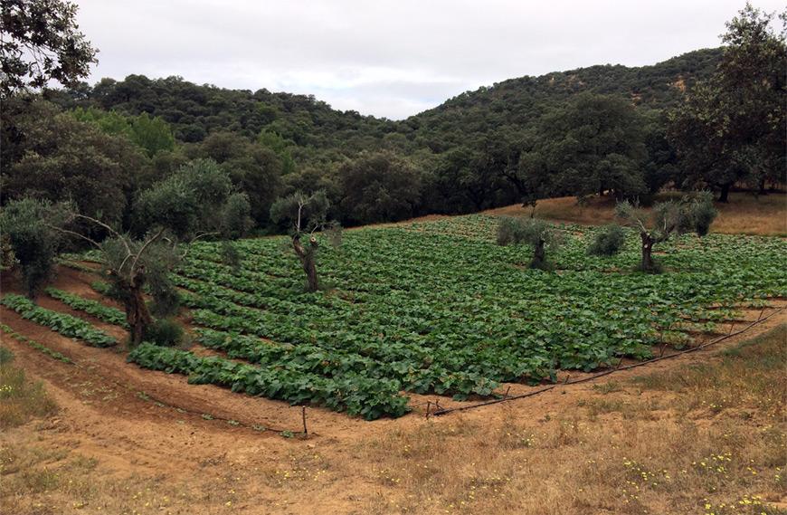 Campo ecologico de calabaza