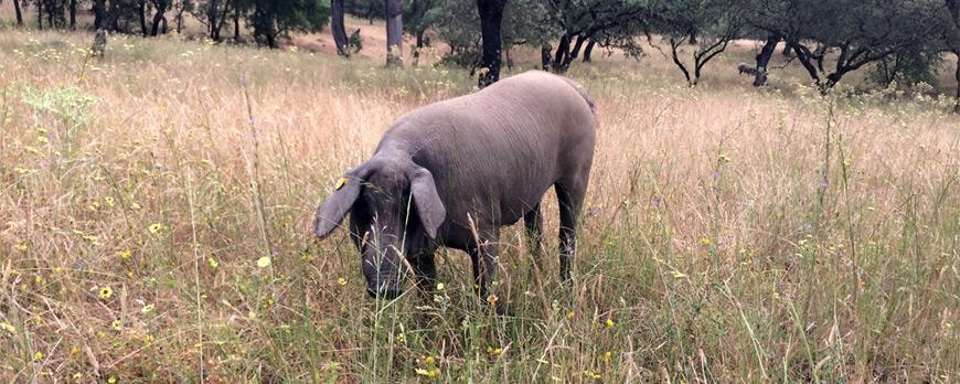 Finca Montefrío: una granja con todos los embutidos bio en el corazón de la Sierra de Aracena y Picos de Aroche