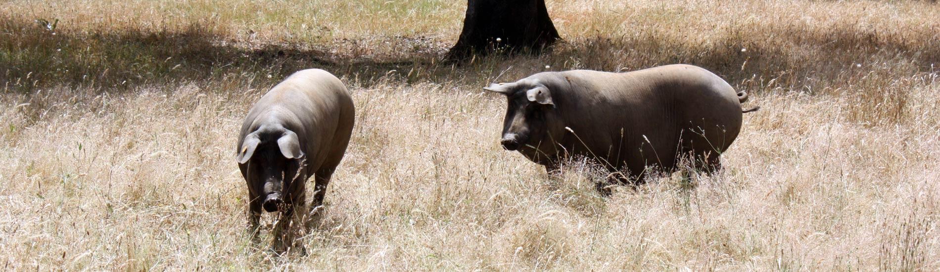 Embutidos ibéricos de la sierra - Jabugo