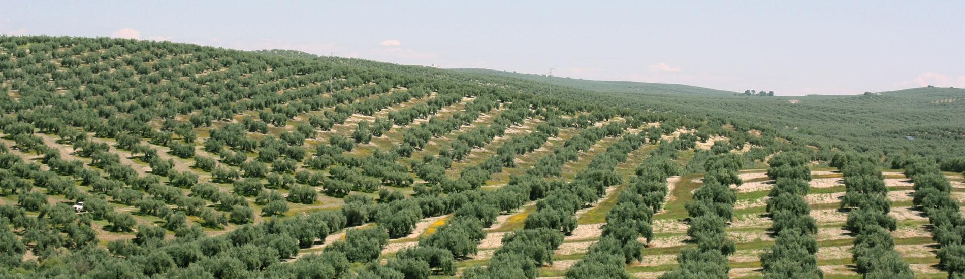 Aceite de oliva AOVE